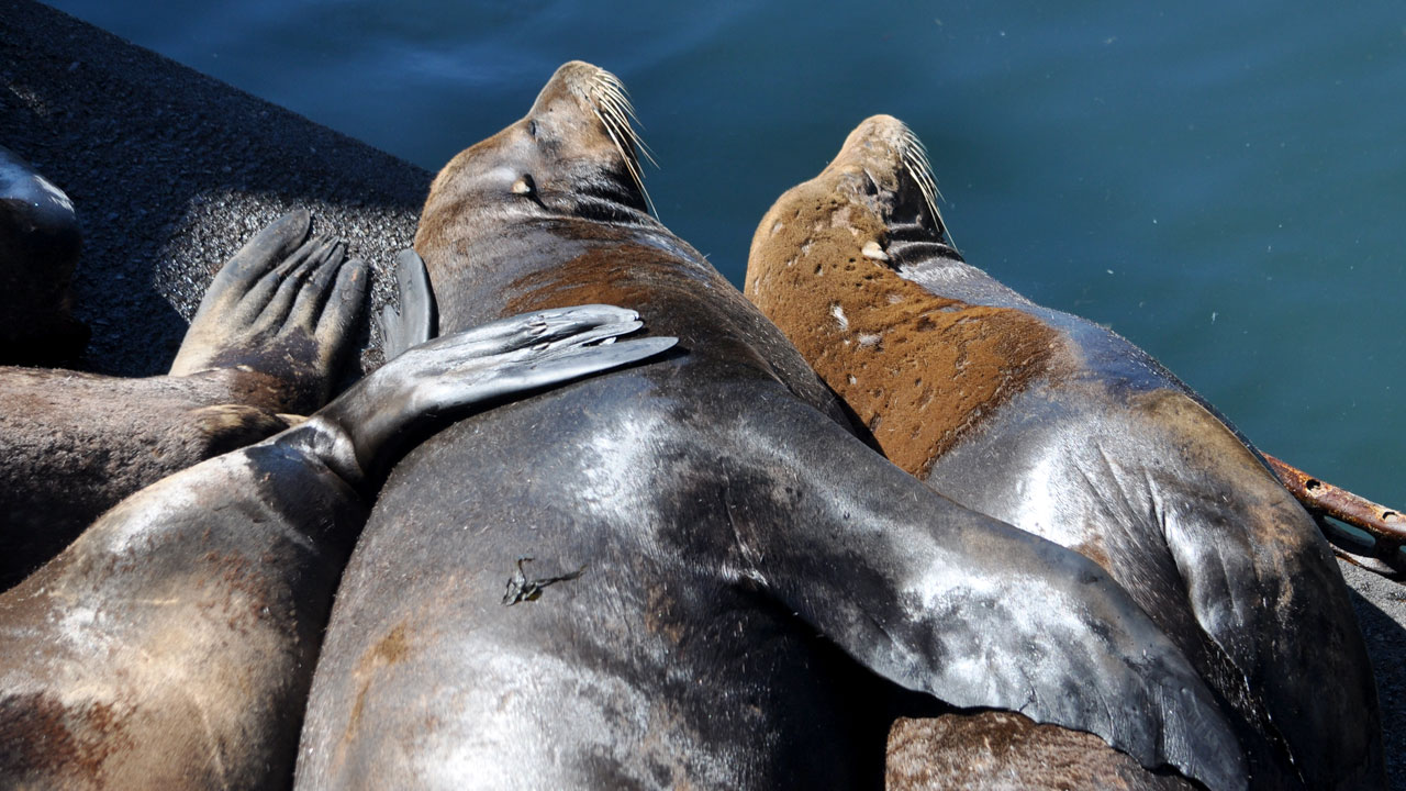 California sea lions lay on a dock, fins intertwined