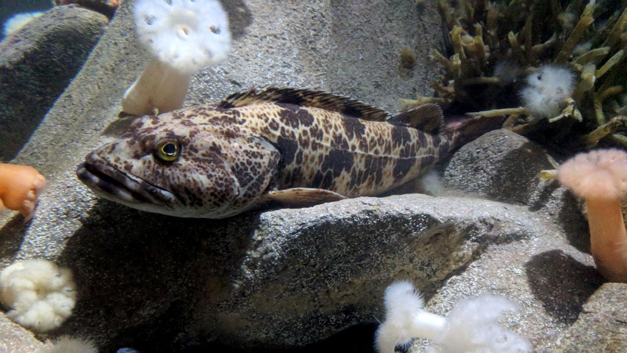 A lingcod sits on a rock