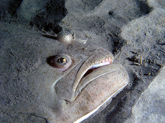 The face of a halibut