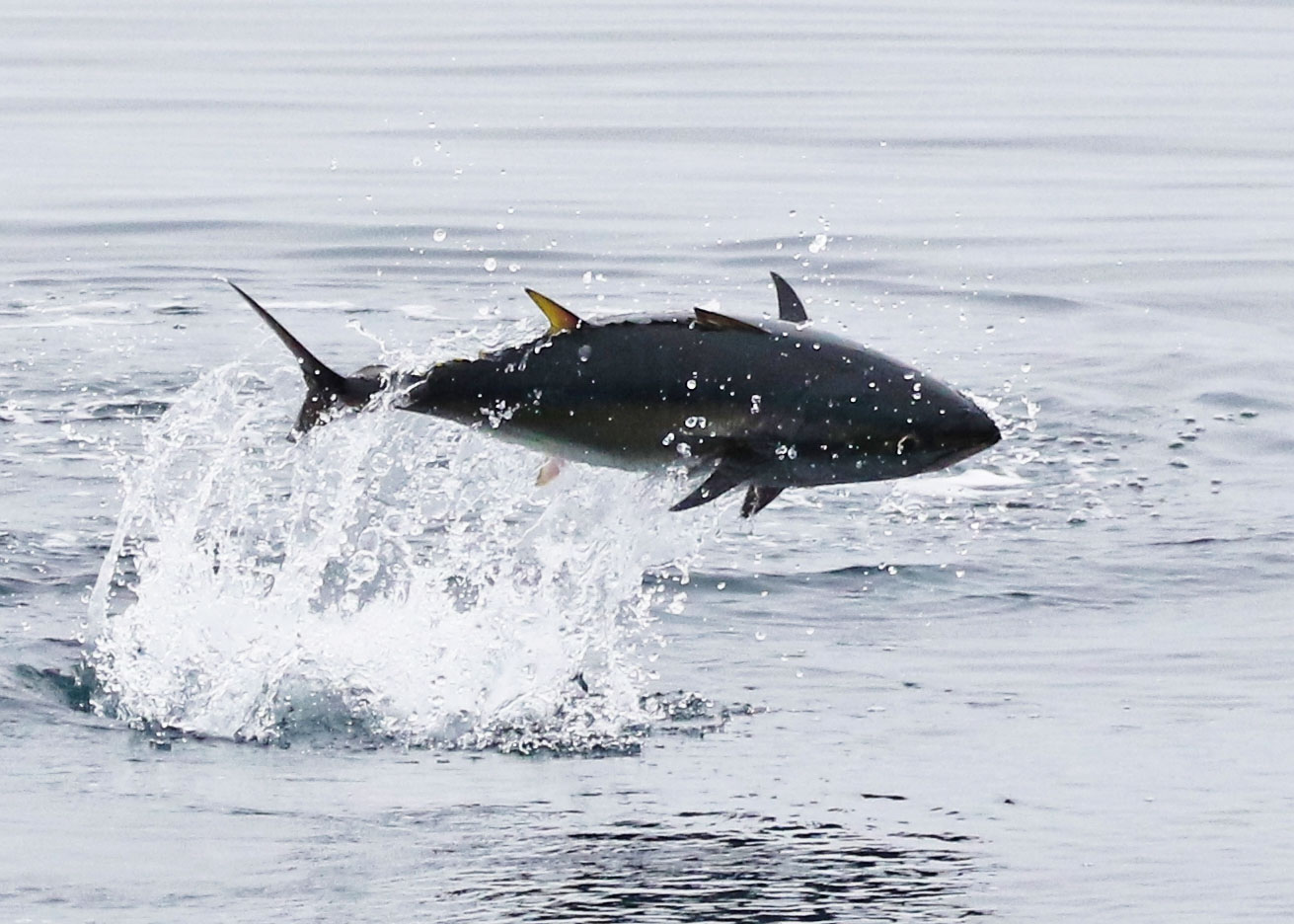 A tuna leaps out of the ocean