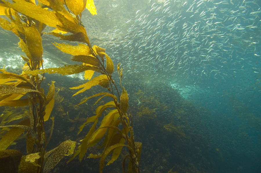 Strands of kelp sway in a blue ocean with a school of fish, possibly anchovies, in the background