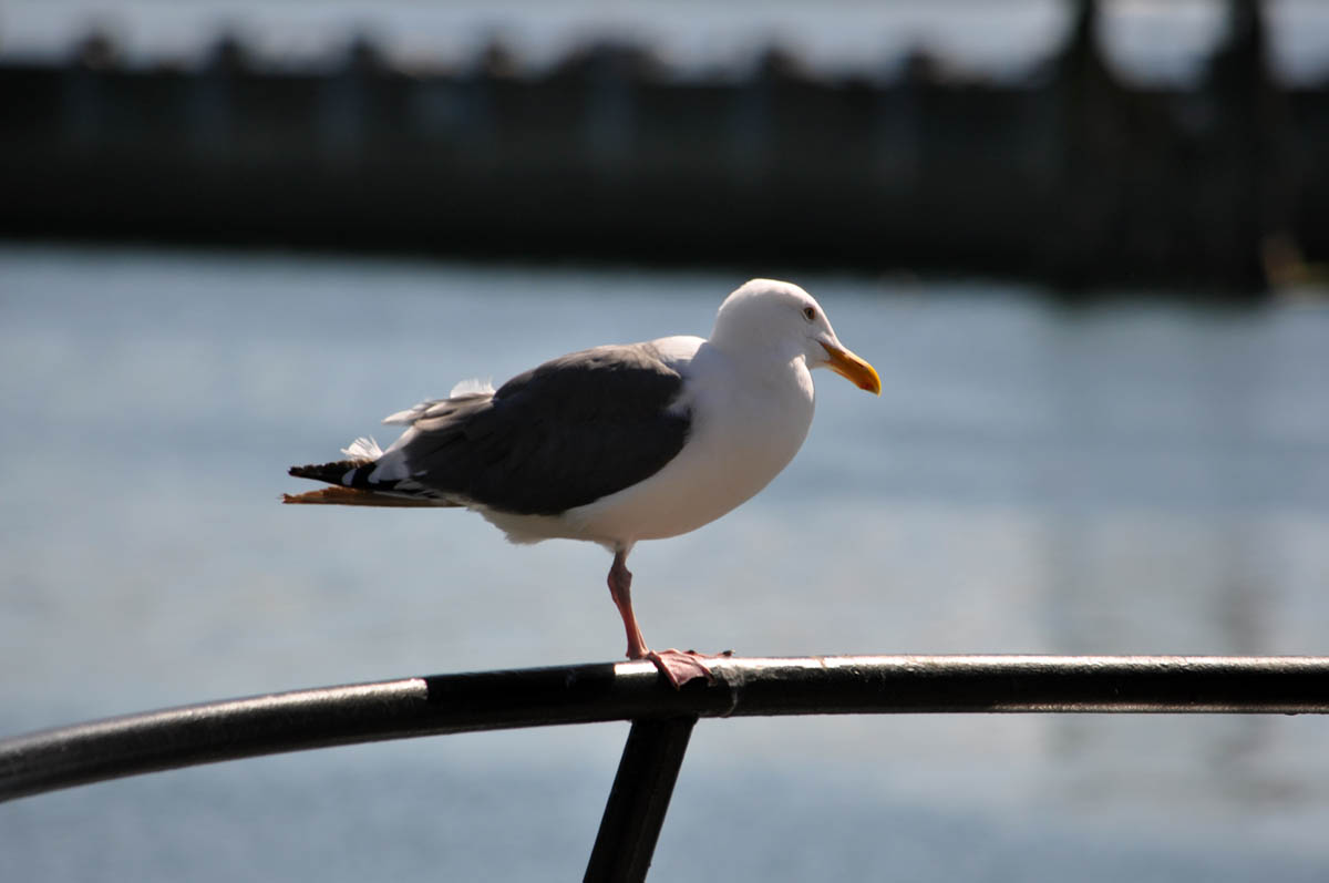 A seagull stands on one leg on the railing of a boat.