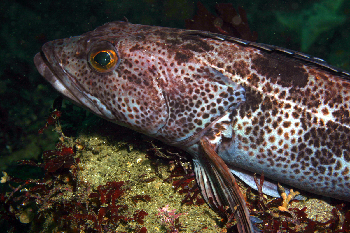A spotted fish sitting on a rock