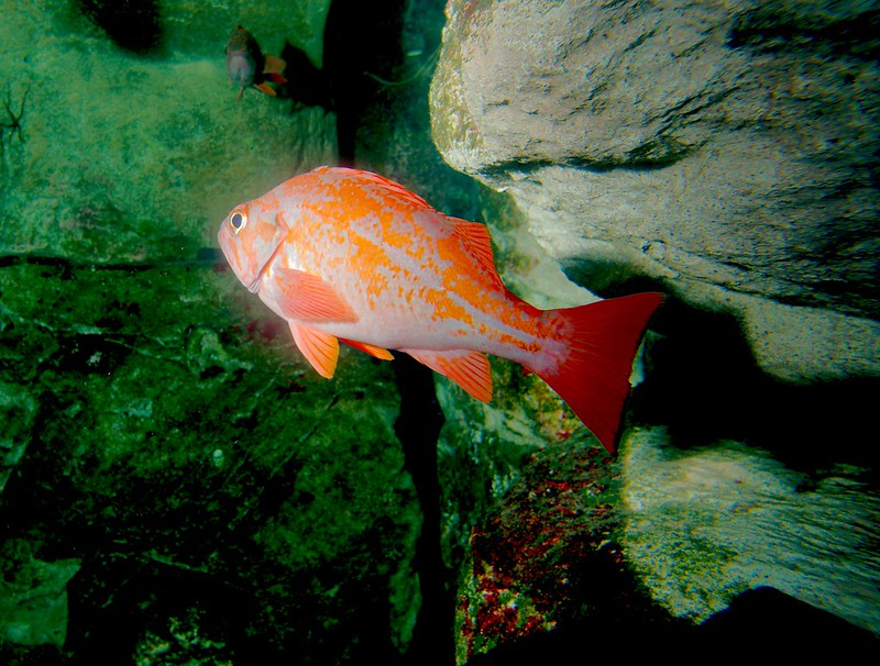 Red rockfish next to a rock