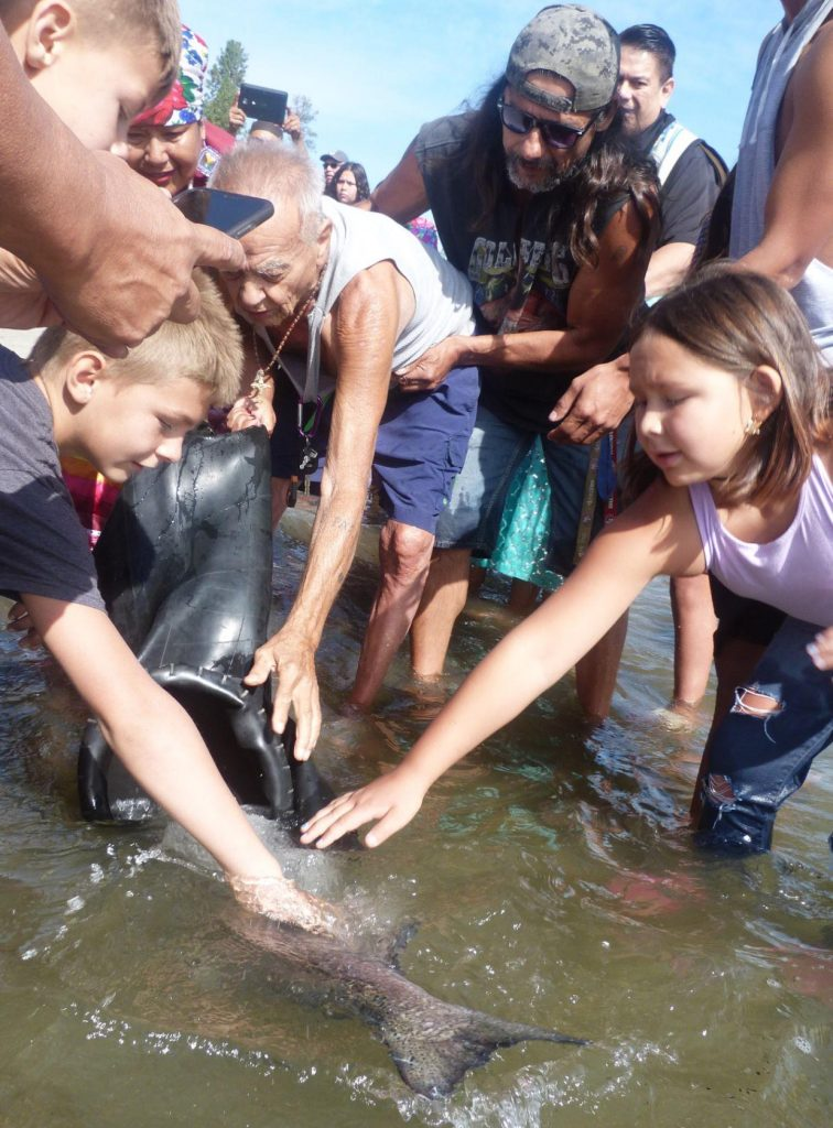A small crowd gathers around as a large salmon is released into the water.