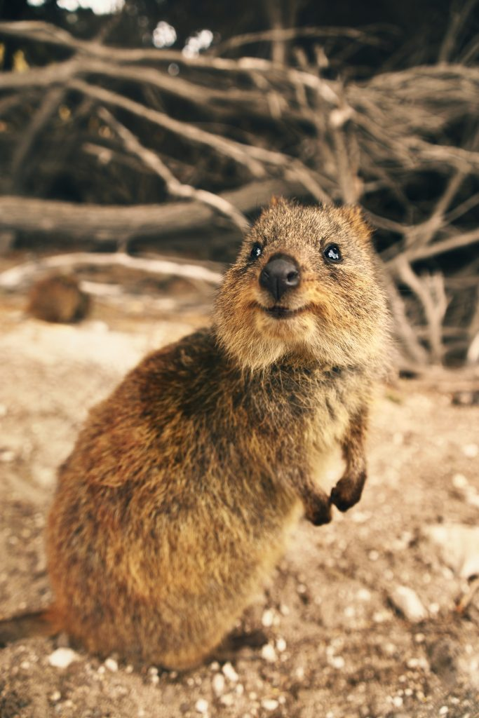 A cute little animal that is definitely not a beaver. (This is a quokka from Australia).