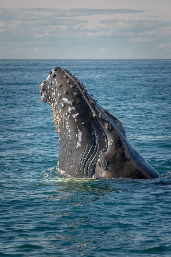 A humpback whale calf poking its head out of the water